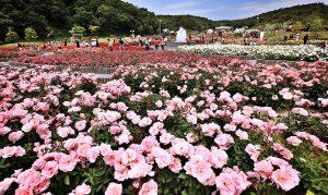 Lễ hội hoa hồng Bulgari tại công viên Thống Nhất