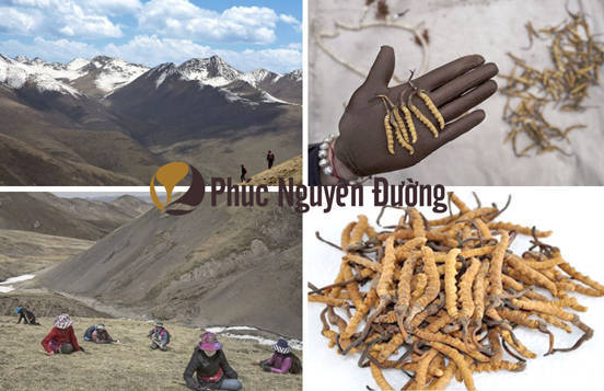 Đông trùng hạ thảo là loại thảo dược quý