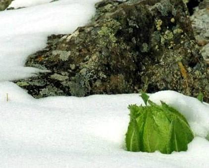 Tuyết liên hoa Tây Tạng