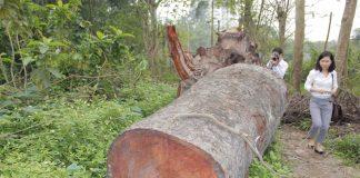Một trong những mẫu gỗ tốt được ưa chuộng